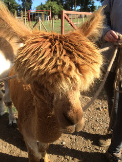 Alpacas in Chile