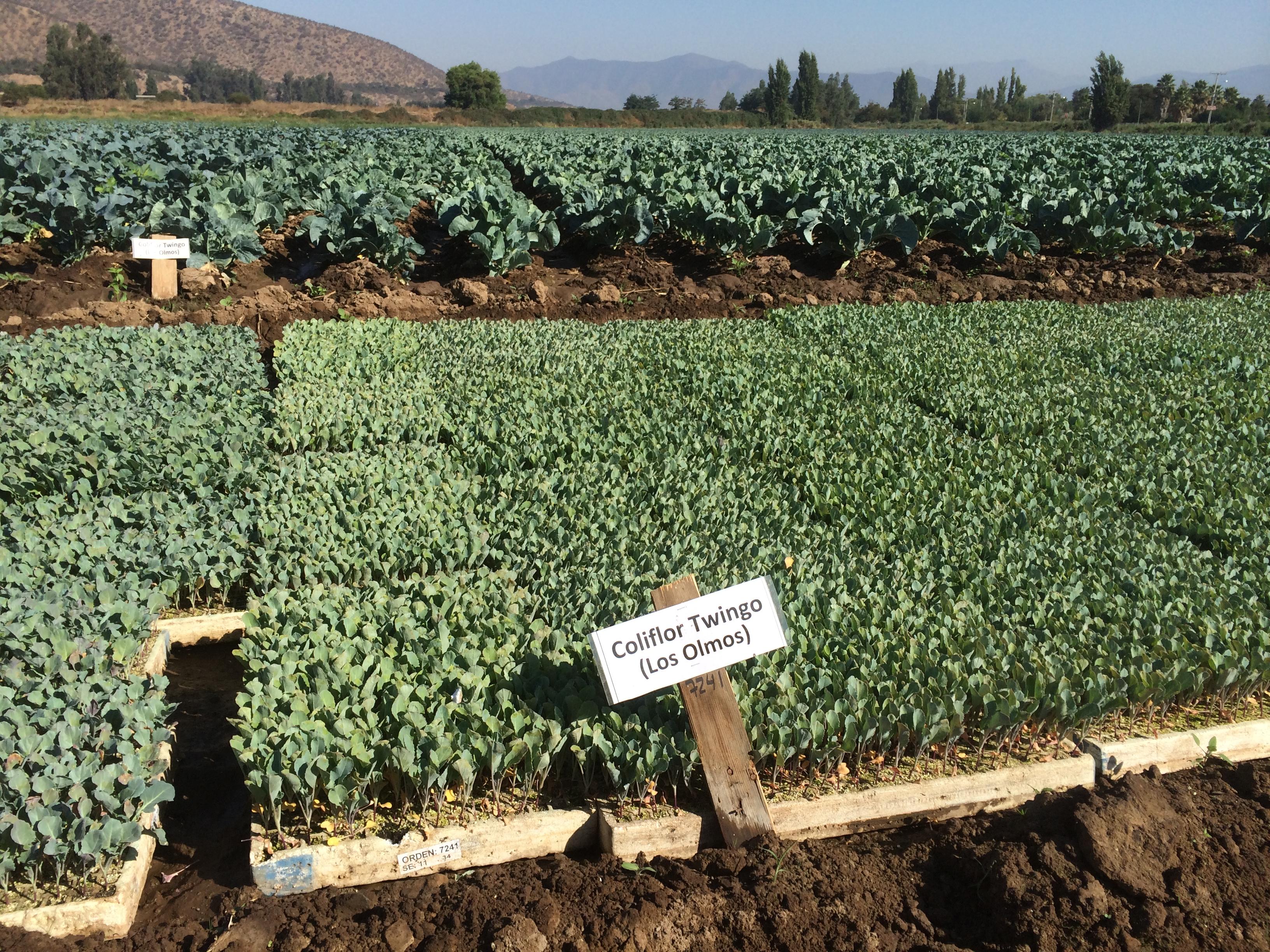 Cauliflower Chile