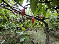 cacao+tree.JPG
