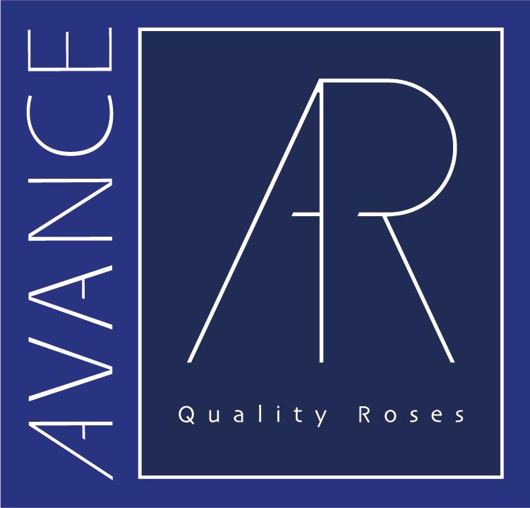 Avance Roses