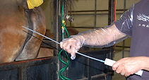 broodmare insemination, equine veterinerian, equine reproduction, foaling advices