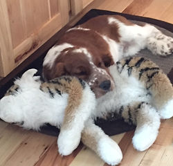 Cadoc as a puppy with tiger toy.JPG