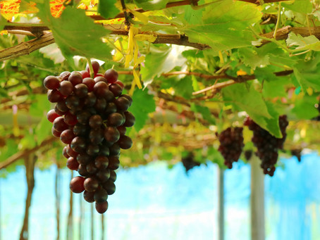 Benefits of Resveratrol for the Skin