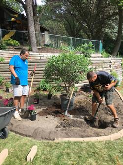 Planting a River Birch
