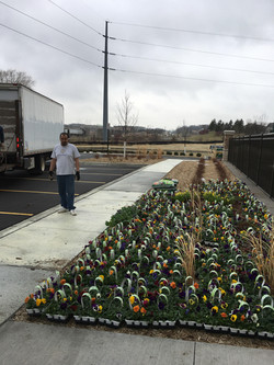 Over 2000 pansies to plant