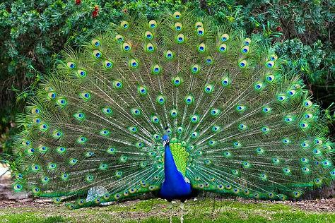 peacock 1.jpeg
