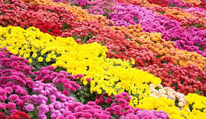 chrysanthemum.jfif
