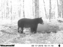 Nice Bear 2019