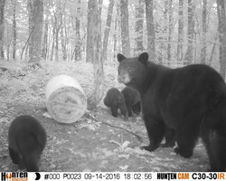 Huge sow with 3 cubs