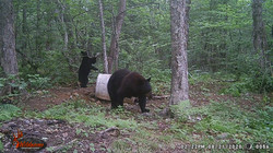 Haggards Sow with cub