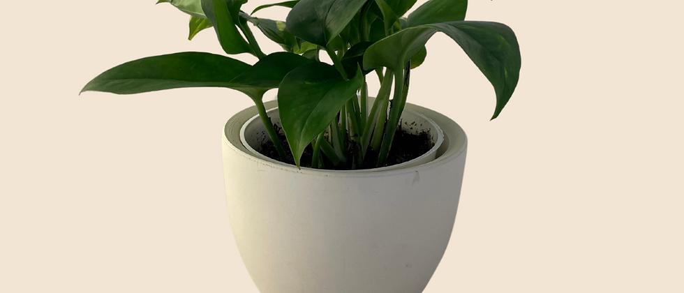 Golden Pothos Indoor Plant