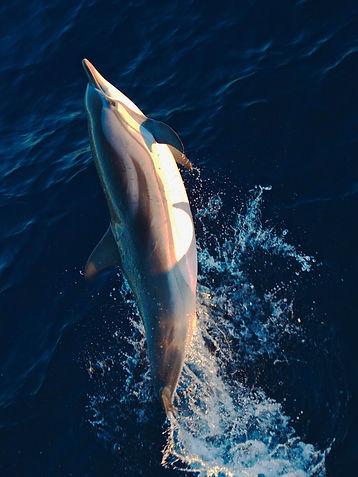 Stripped dolphin Montenegro