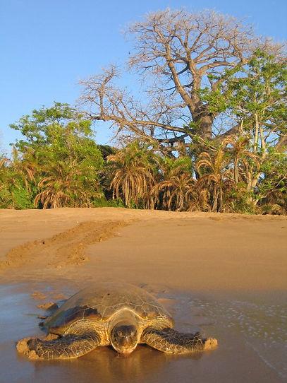 green turtle itsamia Comoros