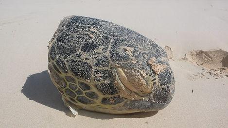 green turtle head