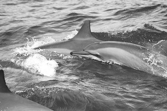 Spinner dolphins Comoros