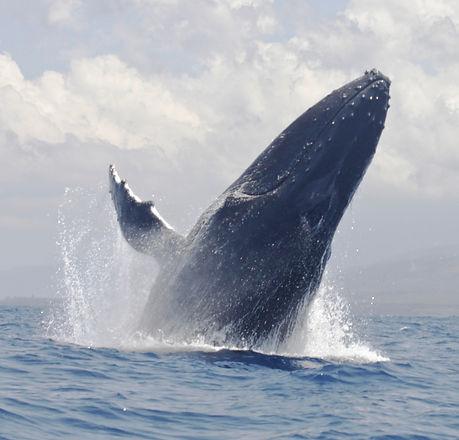 New Whale Humpback (Moidjio 2017)