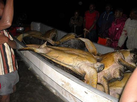 green tutles poached Comoros