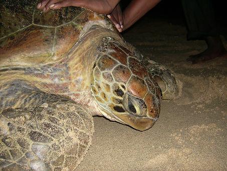 photo ID green turtle comoros