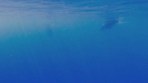 Ziphius cavirostris, Cuvier beaked whale, Menkab el respiro del mare, Moidjio CRCAD.
