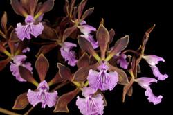 Enc phoenicia Orchid Eros (2)