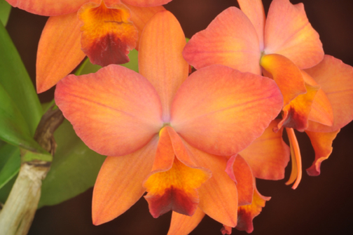 C Miracle of Life Orchid Eros