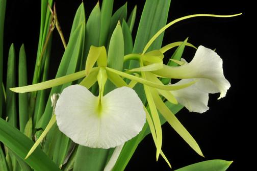 B nodosa Orchid Eros