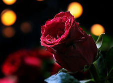rose-3215425_640.jpg