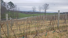 Awakening of the Vines in February | Vineyard Update
