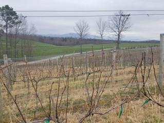 Awakening of the Vines in February | Vineyard Update