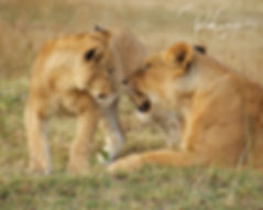 Don't Wake Me Up - Maasai Mara Reserve -