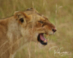 Lioness ready for breakfast - The Kill -