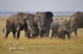 Elphant herd on the move 2 - Amboseli NP