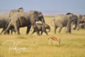 Elphant herd on the move & gazelle - Amb