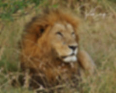 The King - Maasai Mara Reserve - Mara Ri