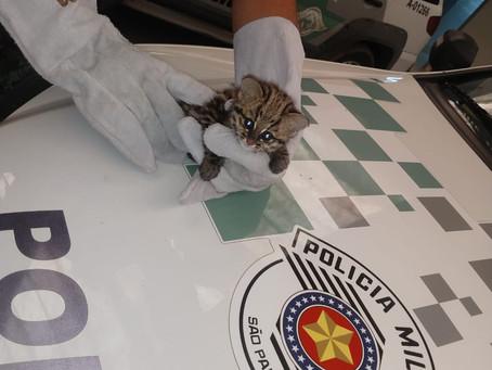 Polícia Ambiental recolhe filhote de jaguatirica encontrado no Jd. Sandra