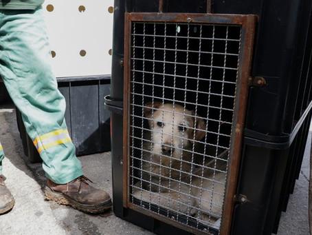 Carapicuíba: Prefeitura resgata mais de 20 cães que sofreram maus tratos