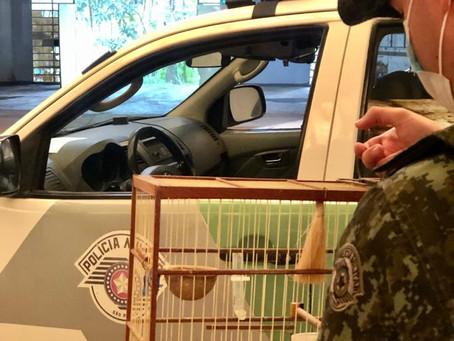 Embu: Veículo fura blitz, é perseguido e indivíduos são flagrados com cinco pássaros exóticos