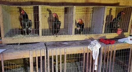 Cotia: Polícia Ambiental detém 28 pessoas em rinha de galo