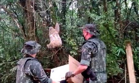 Cotia: Polícia Ambiental resgata bicho preguiça