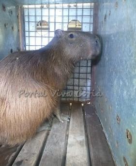 Granja Viana: Capivara é resgatada no km 24