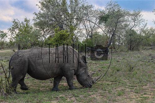 Rhino at dinner