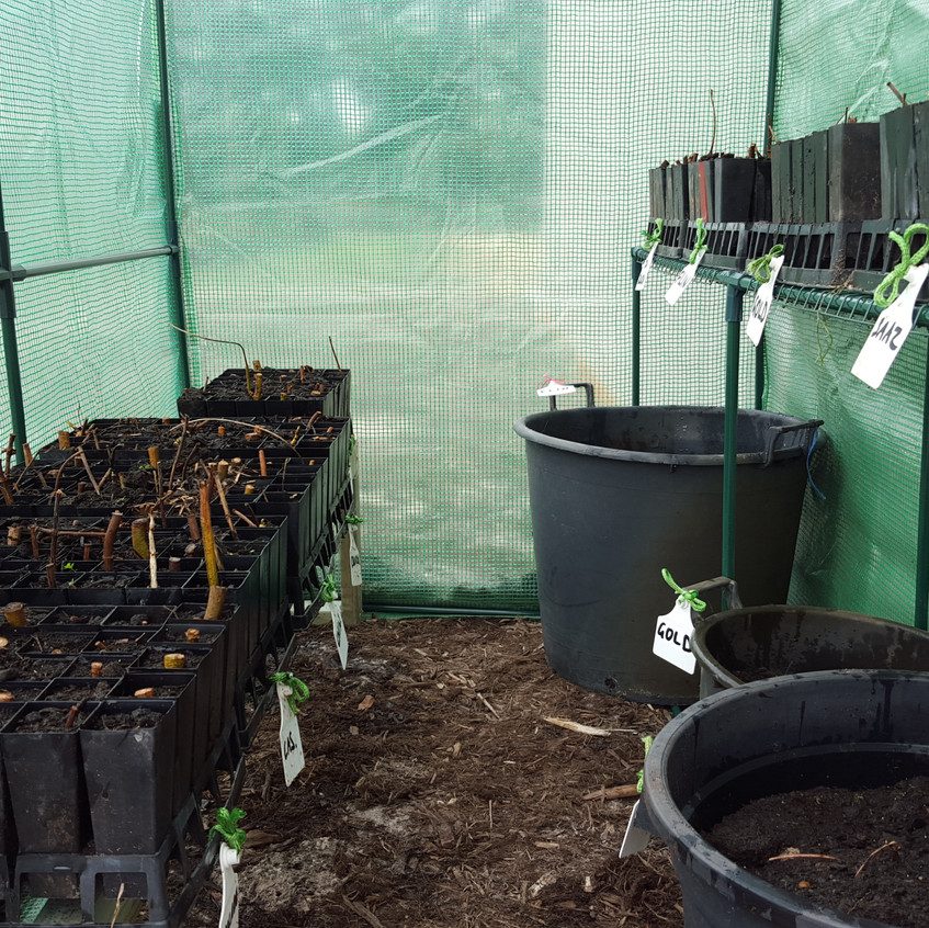 Our latest rhizome propagation; 12 varieties inc; Cascade, Chinook, Saaz, Goldings, Dr Rudi, Red Earth, Hallertau, Hersbruker, Tettnanger, Flinders, Colombus and POR