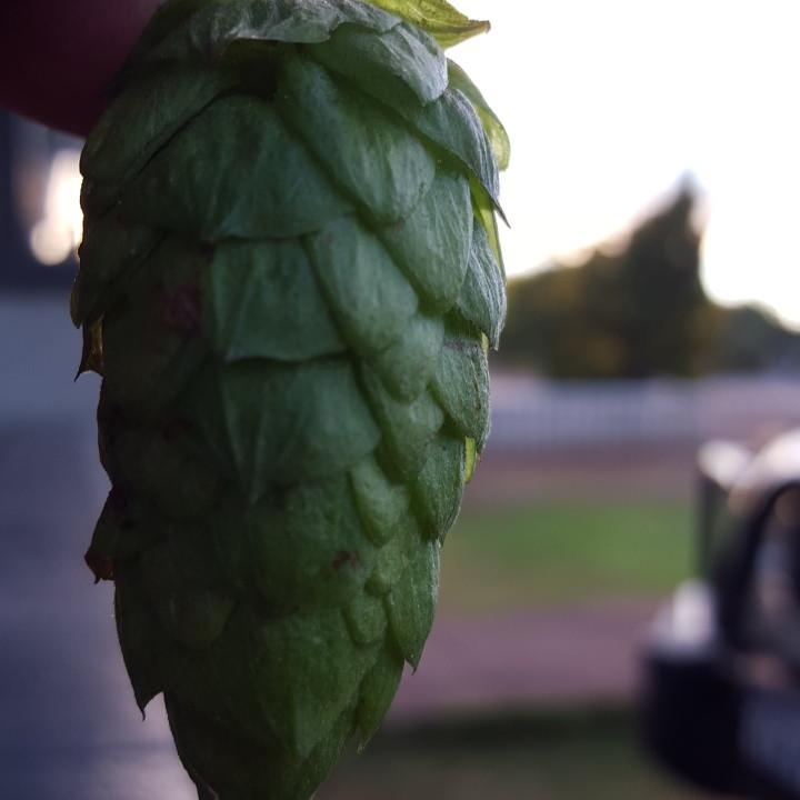 mmm Whole cone hops