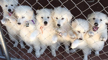 Tips for Bringing Your Blanc Suisse Puppy Home