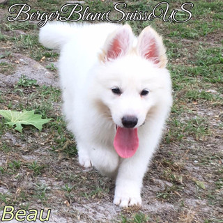 Berger Blanc Suisse US