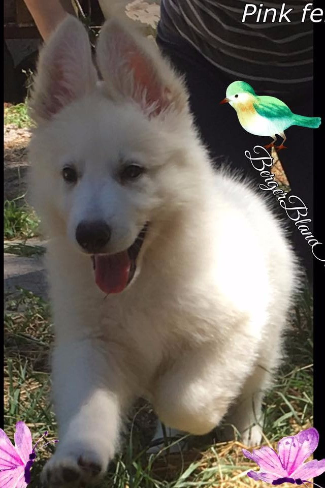 Basics of Berger Blanc Suisse Puppy Care