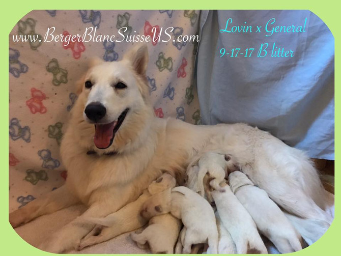 Berger Blanc Suisse Puppies for Sale
