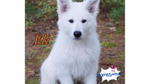 Top 5 Reasons White Shepherds Make Good Family Pets