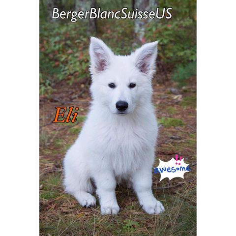 Berger Blanc Suisse Puppies:White Shepherds Make Excellent Pets