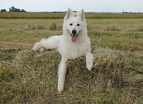 Suisse White Shepherd
